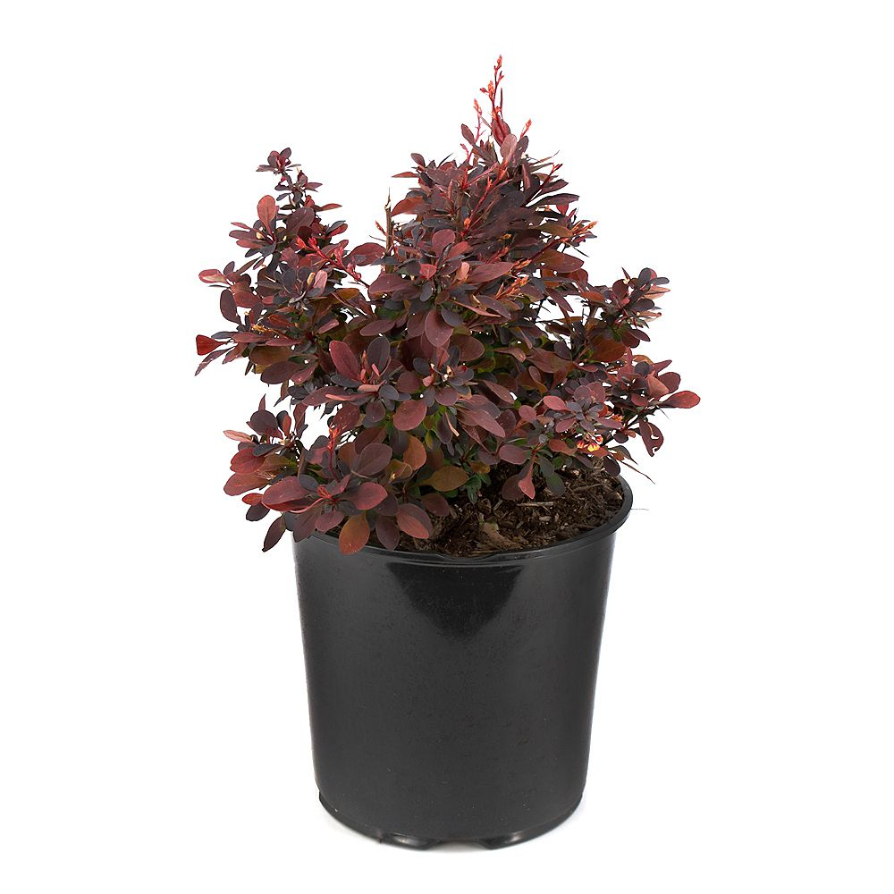 Garden Elements 7.5L Ruby Carousel Barberry (Berberis) Shrub