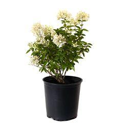 Garden Elements 2 Gallon Phantom Hardy Hydrangea (Paniculata)