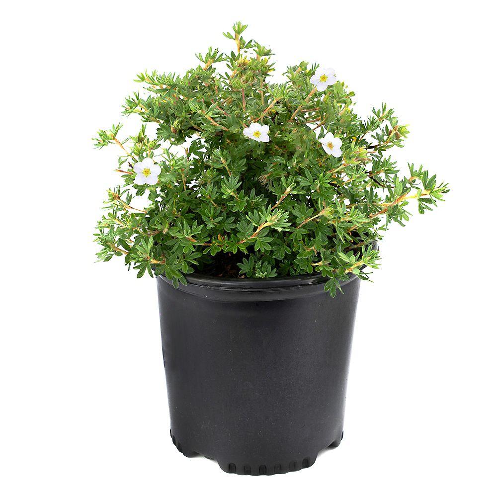 Garden Elements 7.5L Abbotswood Potentilla White Flowering Shrub