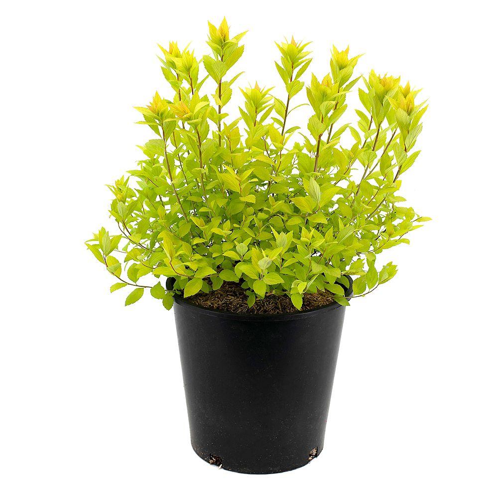 Garden Elements Spirée 'Goldmound' en pot de 2 gallons