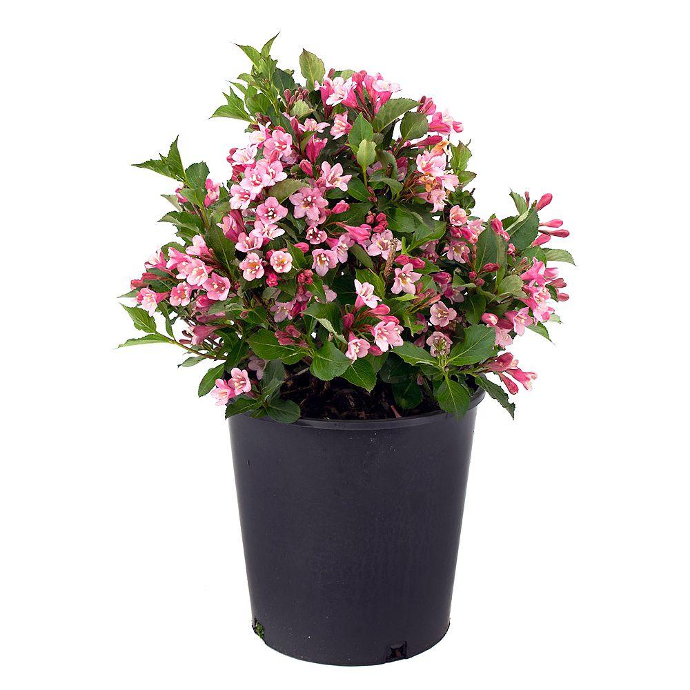 Garden Elements 7.5L Polka Weigela Pink Flowering Shrub