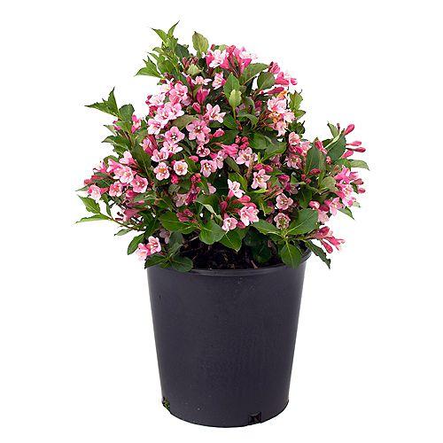 7.5L Polka Weigela Pink Flowering Shrub