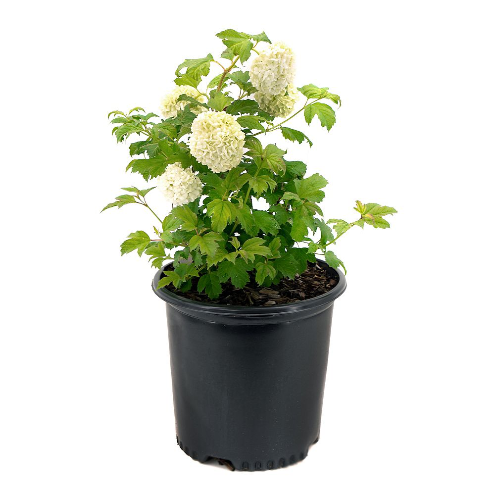 Garden Elements Viorne obier Boule de neige (Vibunurnum)