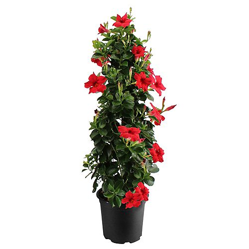 "Foliera 11"" Mandevilla Vining Red Small Leaf on Trellis"