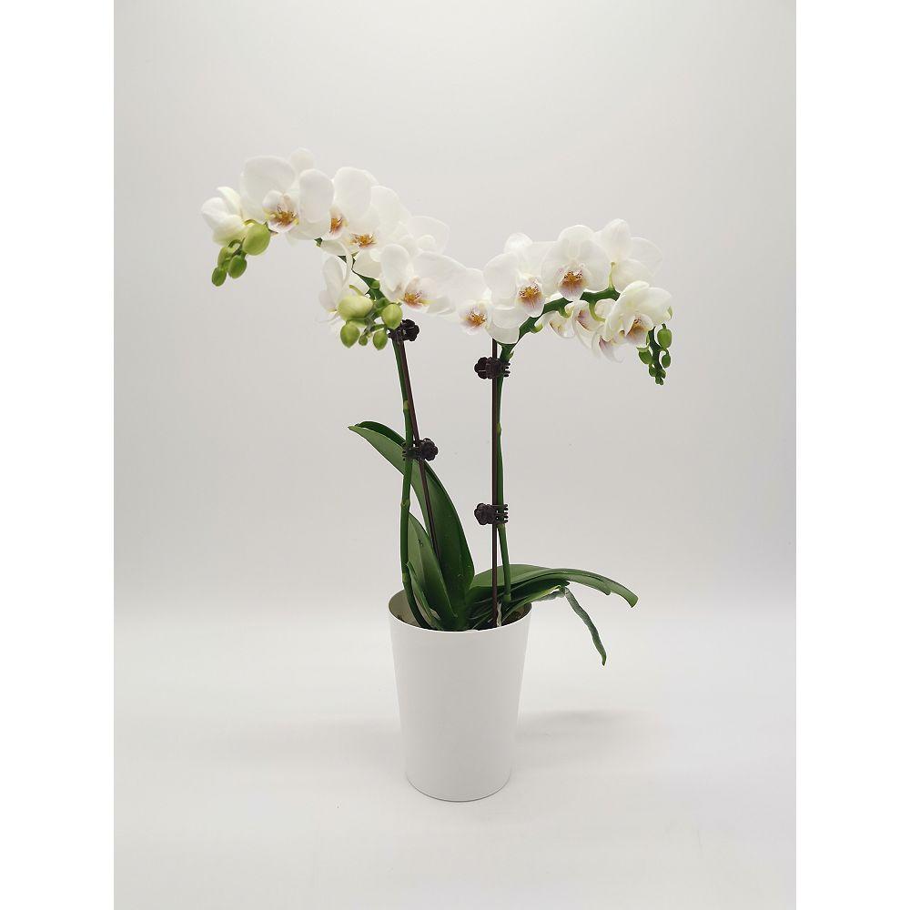 Foliera 3-inch White Overpot 1 Stem Orchid Phalaenopsis Plant
