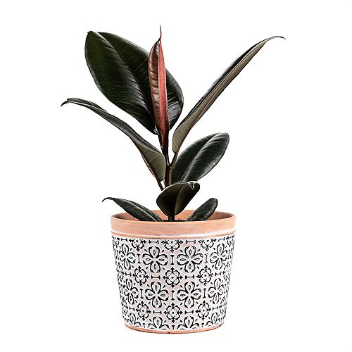 Burgundy Rubber Tree (Ficus Elastica) Tropical Plant in Tricolour Ceramic Deco Pot
