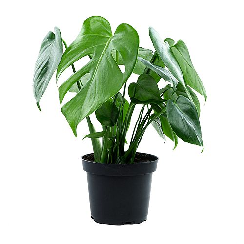 Split Leaf Philodendron (Monstera Deliciosa) Tropical Plant in Grower Pot