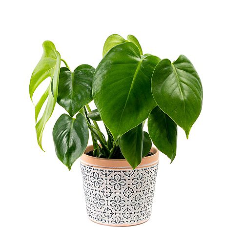 Split Leaf Philodendron (Monstera Deliciosa) Tropical Plant in Tricolour Ceramic Deco Pot