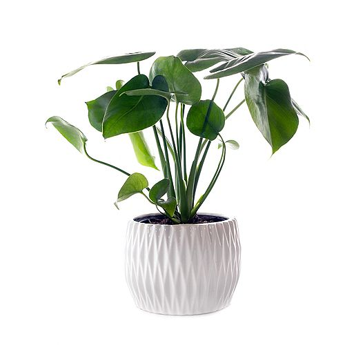 Split Leaf Philodendron (Monstera Deliciosa) Tropical Plant in Glossy White Ceramic Deco Pot