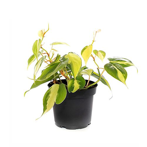 Brasil Heartleaf Philodendron Tropical Plant in Grower Pot