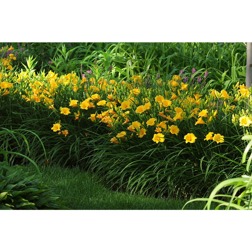 Landscape Basics 1 Gallon Golden Yellow Daylily 'Stella D' Oro' (Hemerocallis)