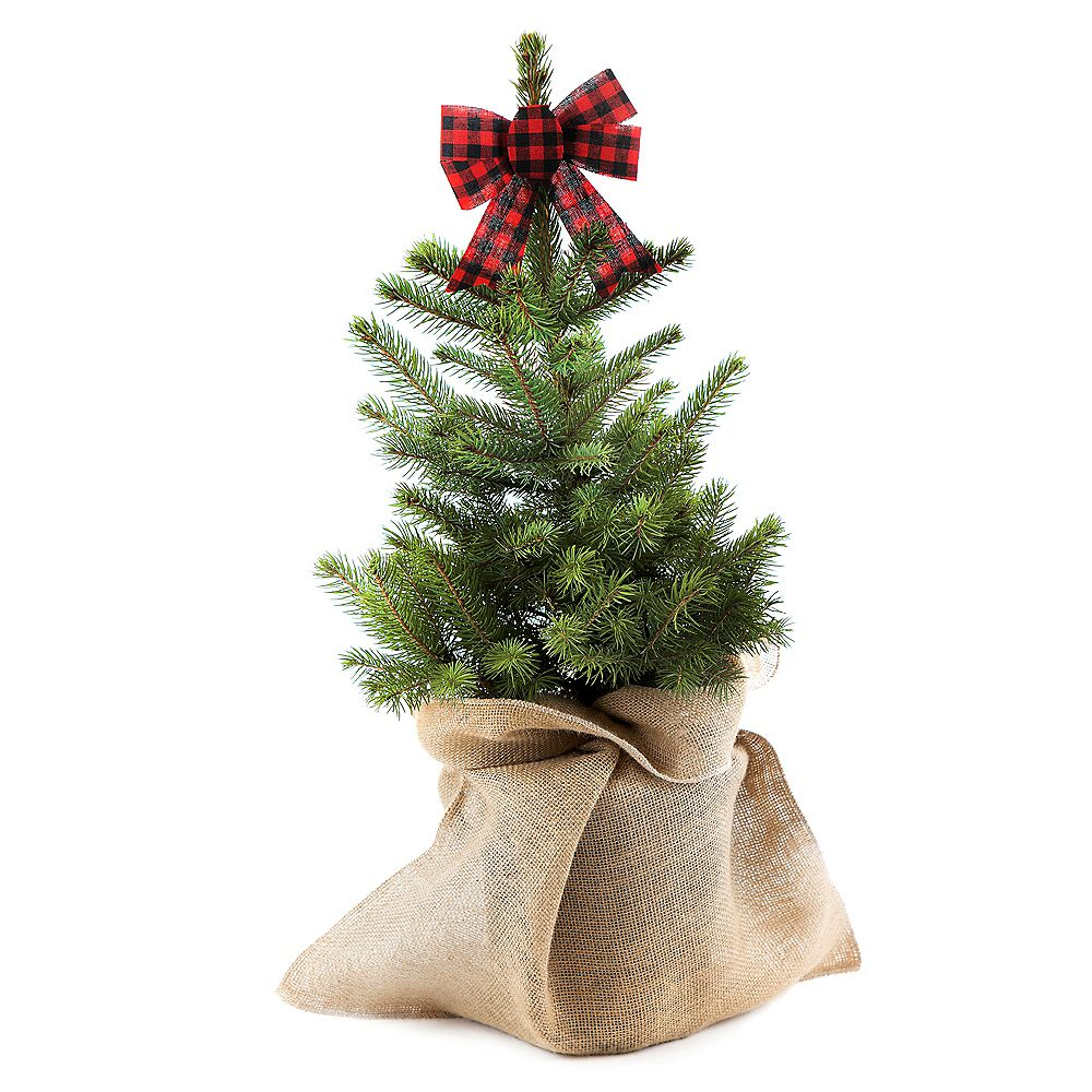 Holiday Cheer Black Hills Spruce Holiday Planter 2g