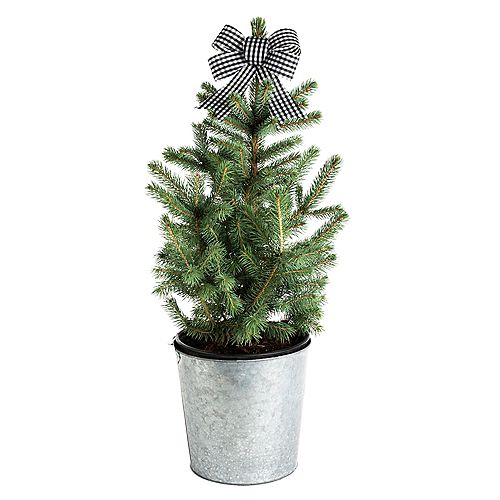 Baby Blue Living Christmas Spruce Tree 2G (7.5L)