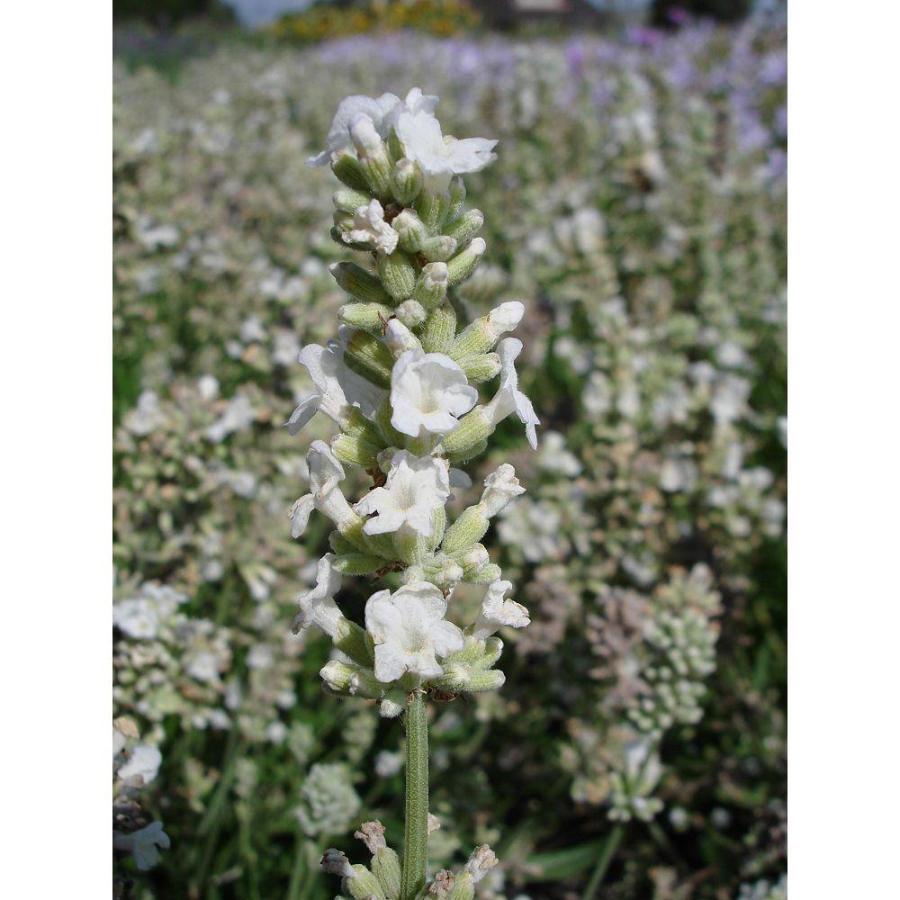 Landscape Basics 1 Gallon White Lavender 'Ellagance Snow' (Lavandula angustifolia)