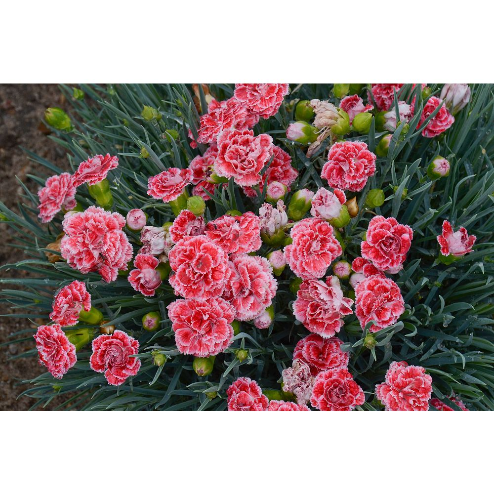 Landscape Basics 1 Gallon Coral Dianthus Scent First 'Coral Reef' (Dianthus hybrida)