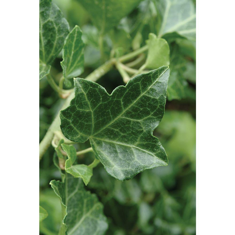 Landscape Basics 1 Gallon Groundcover Baltic Ivy 'Baltica' (Hedera helix)