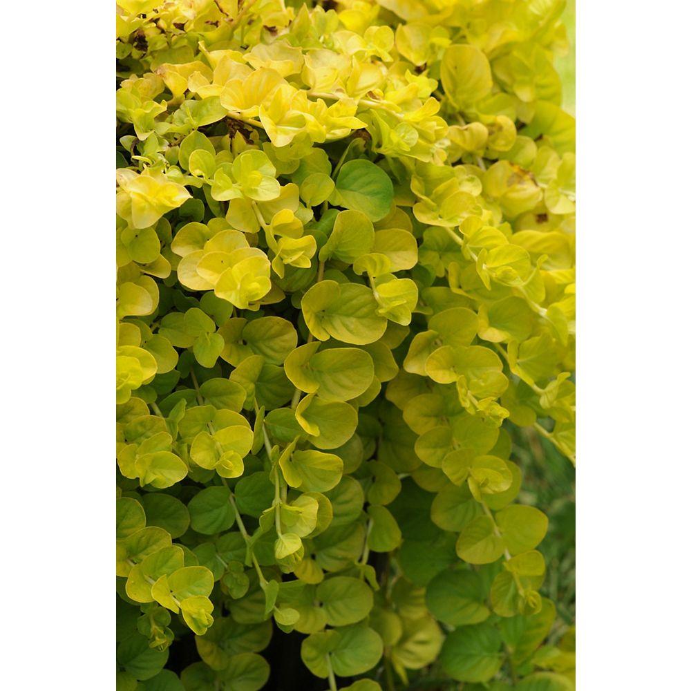 Landscape Basics 1 Gallon Groundcover Creeping Jenny 'Goldilocks' (Lysimachia nummularia)