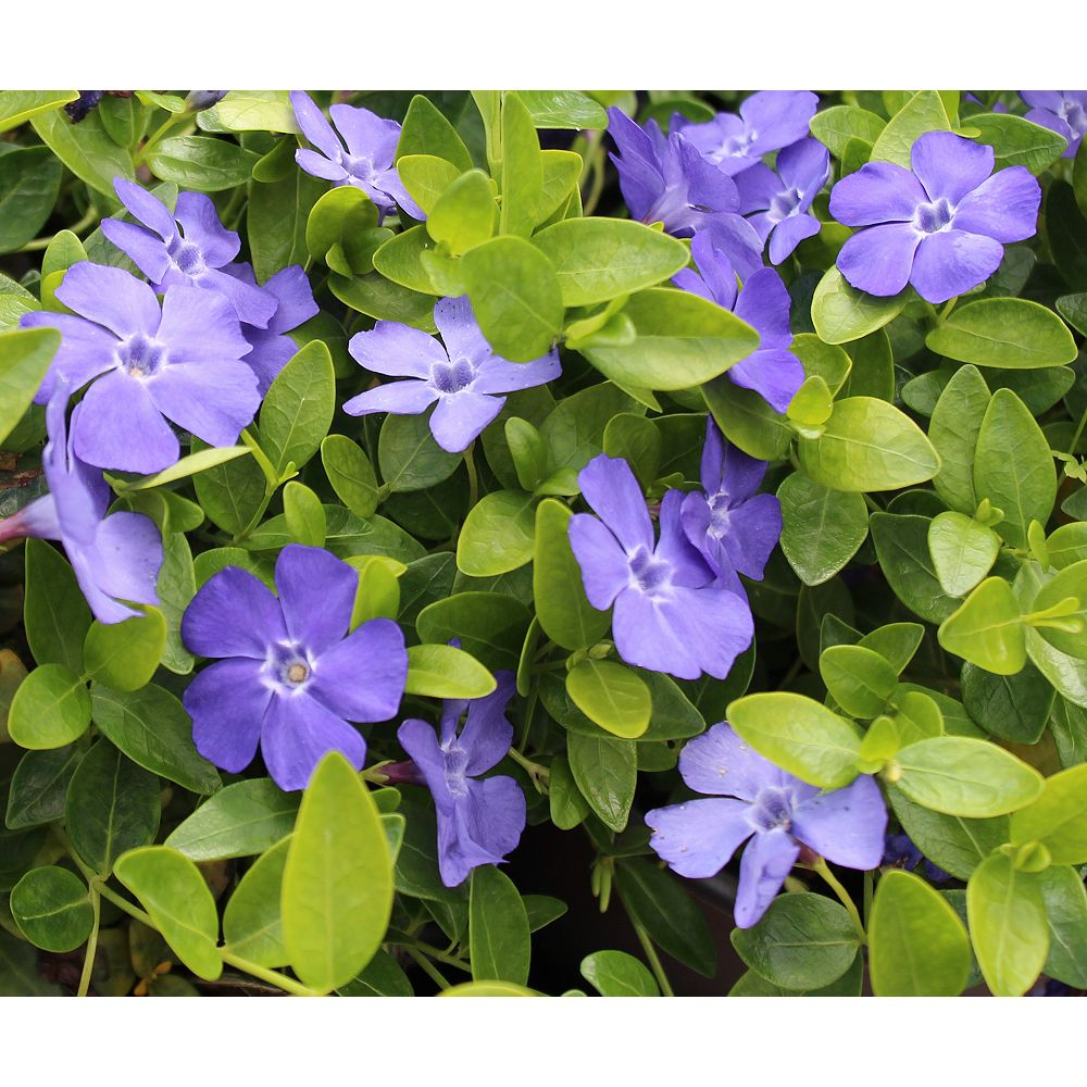 Landscape Basics 1 Gallon Groundcover Periwinkle 'Bowles' (Vinca minor)