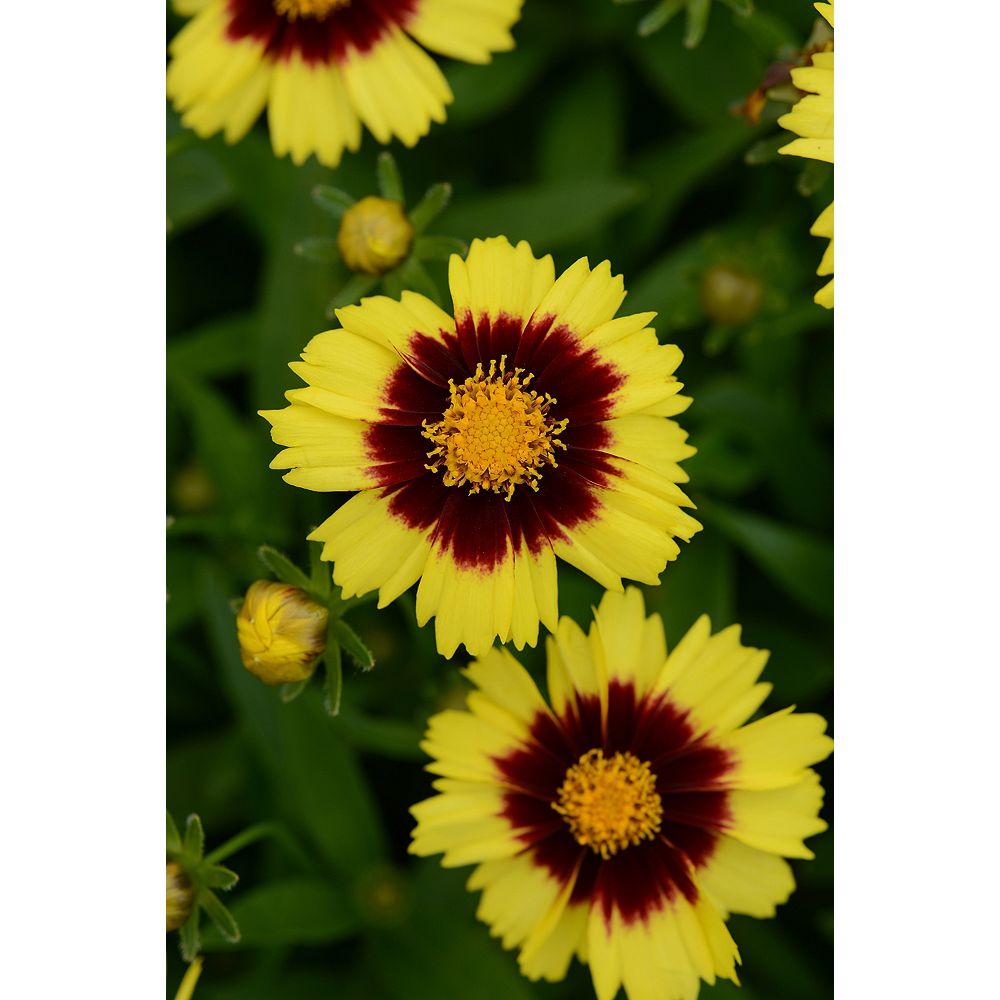Landscape Basics 1 Gallon Tickseed 'UpTick Yellow & Red' (Coreopsis hybrida)