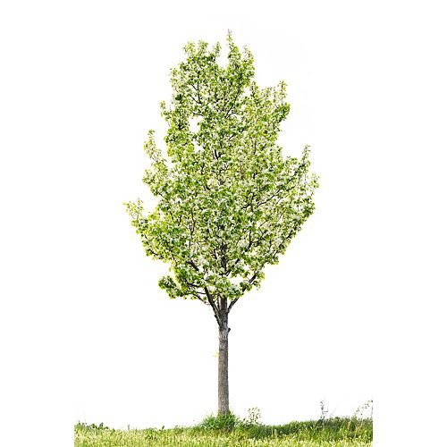Plum Tree 5g