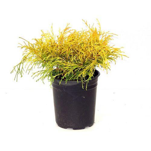 1g Golden Mops Cypress Ornamental Evergreen