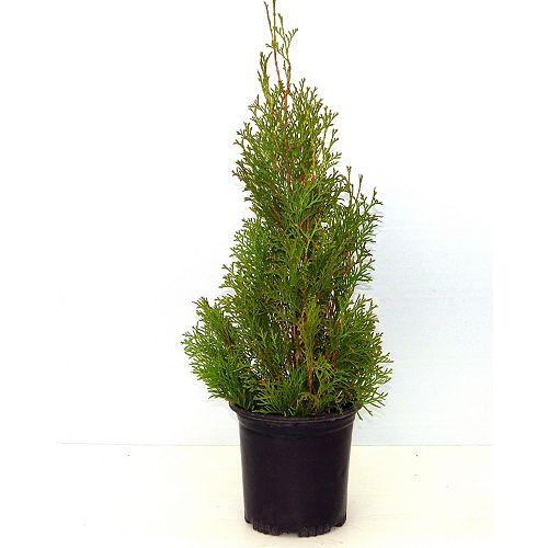 1g Emerald Cedar