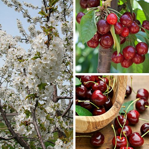 Cherry Tree 5g