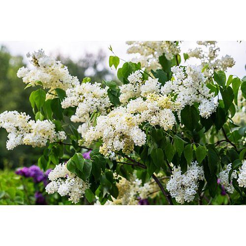 Lilac Primrose 2g
