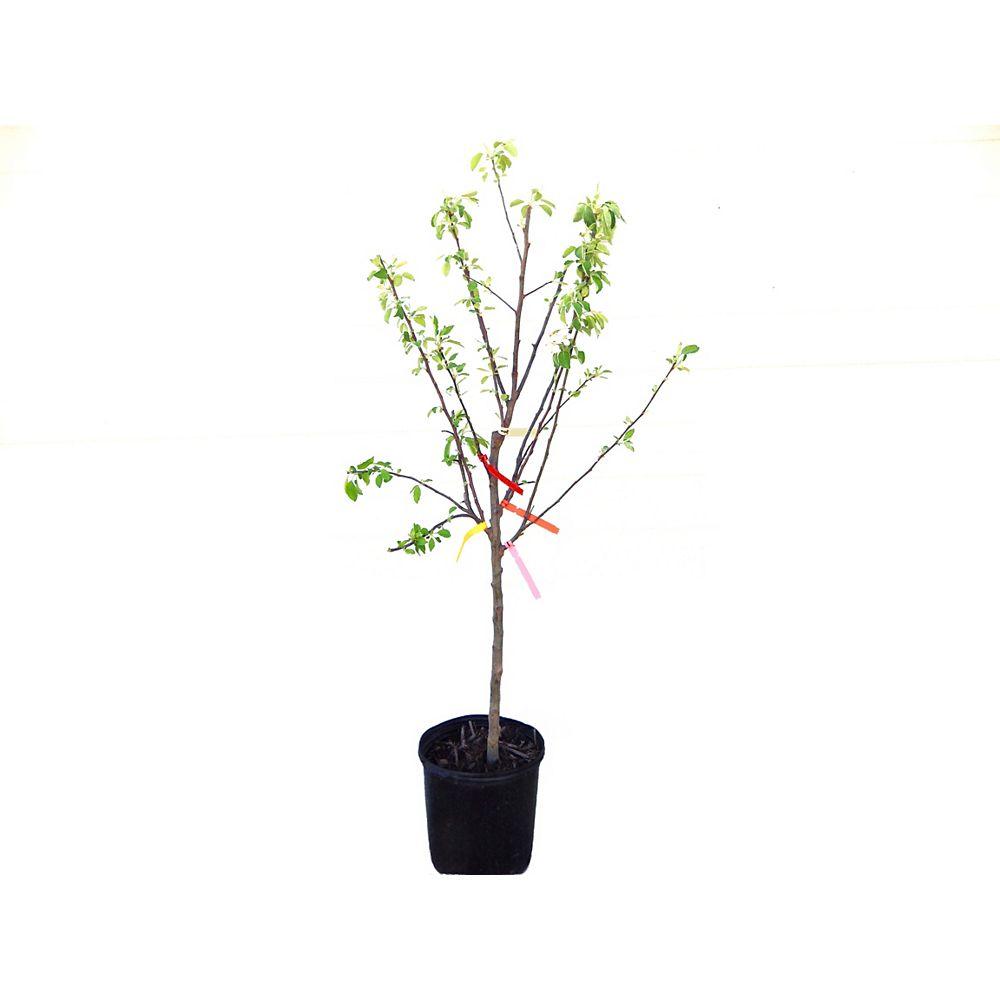 Vigoro Vigoro Combo Apple Tree 5g