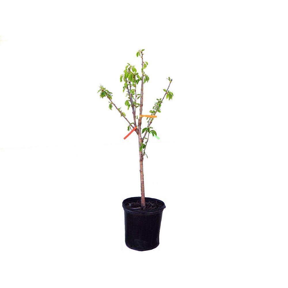 Vigoro Vigoro Combo Cherry Tree 5g