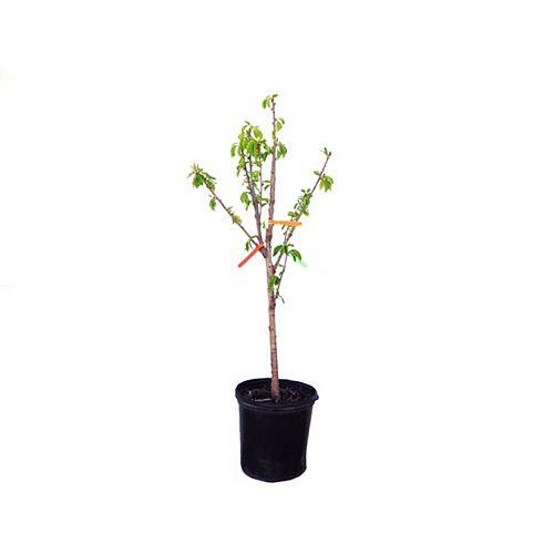 Vigoro Combo Cherry Tree 5g