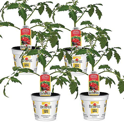 Tomate, tomate italienne San Marzano Roma; ensemble de 4