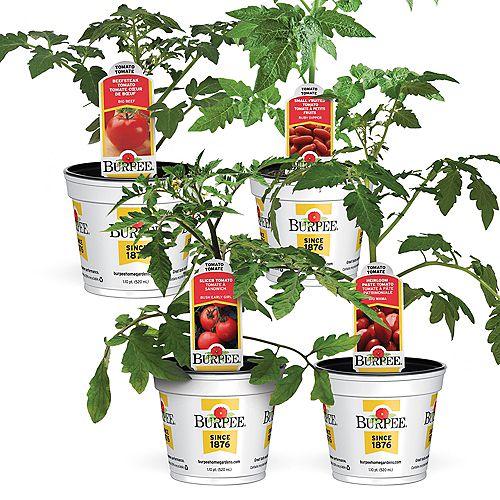 Tomates  Ensemble de 4 variétés incontournables du potager