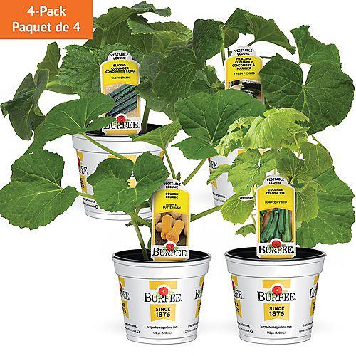Légumes  Ensemble de 4 variétés de courges et concombres succulents