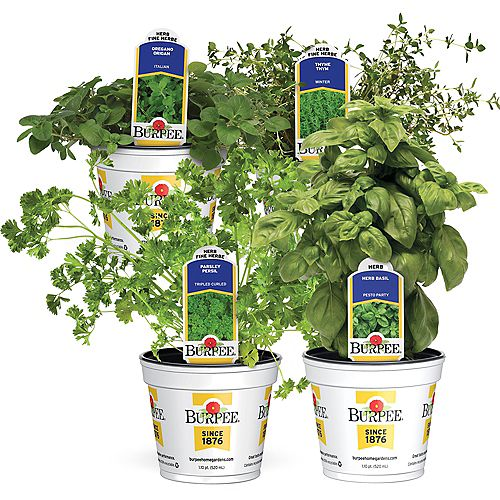 Fines herbes  Ensemble de 4 fines herbes «Reines de la cuisine»: persil, origan, basilic et thym