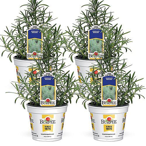 Fines herbes, romarin; ensemble de 4