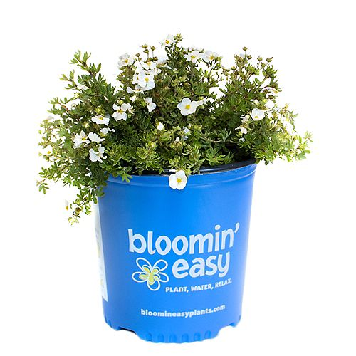 Bloomin' Easy 7.5L Bella Bianca Potentilla Flowering Shrub