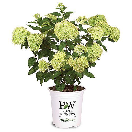 7.5L PW ColorChoice Little Lime Hydrangea (paniculata) Flowering Shrub