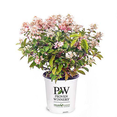 7.5L PW ColorChoice Little Quick Fire Hydrangea (paniculata) Flowering Shrub