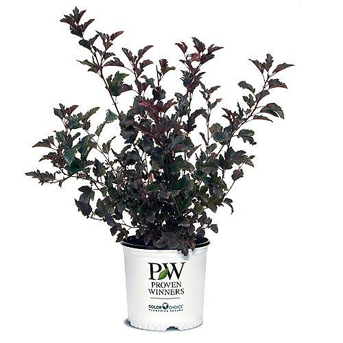 Proven Winners 7.5L PW ColorChoice Summer Wine Ninebark (Physocarpus) Shrub