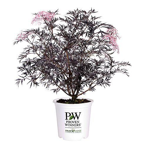 7.5L PW ColorChoice Black Lace Elderberry (Sambucus) Shrub