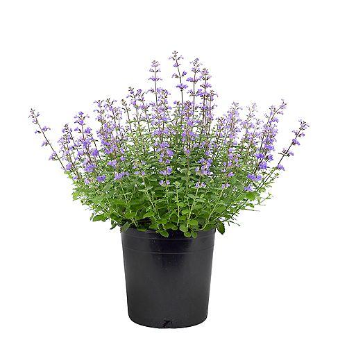 7.5L Purrsian Blue Catmint (Nepeta) Flowering Plant