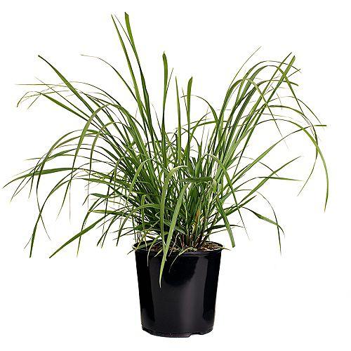 7.5L Red Head Fountain Grass (Pennisetum)