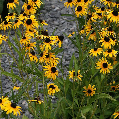 7.5L Viette's Little Suzy Black-Eyed Susan (Rudbeckia) Flowering Plant