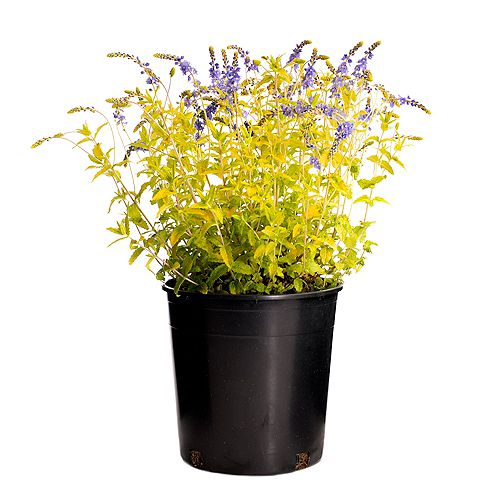 7.5L Aztec Gold Veronica Flowering Plant