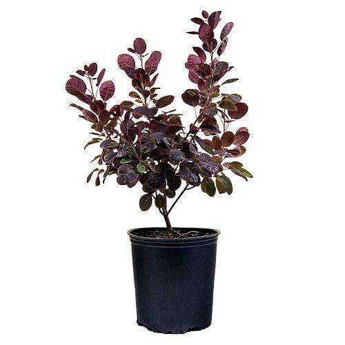 7.5L Royal Purple Smokebush (Cotinus) Flowering Shrub
