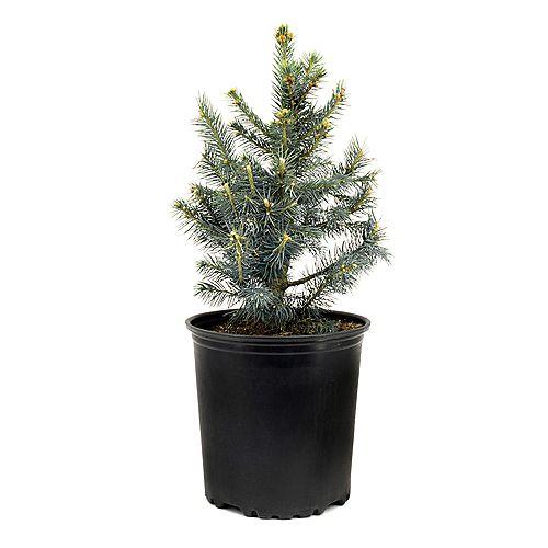 7.5L Baby Blue Colorado Spruce (Picea) Evergreen Tree