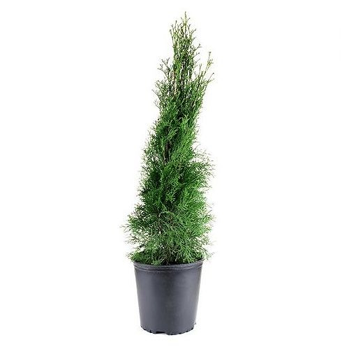 7.5L Emerald Cedar (Thuja) Upright Hedging Evergreen
