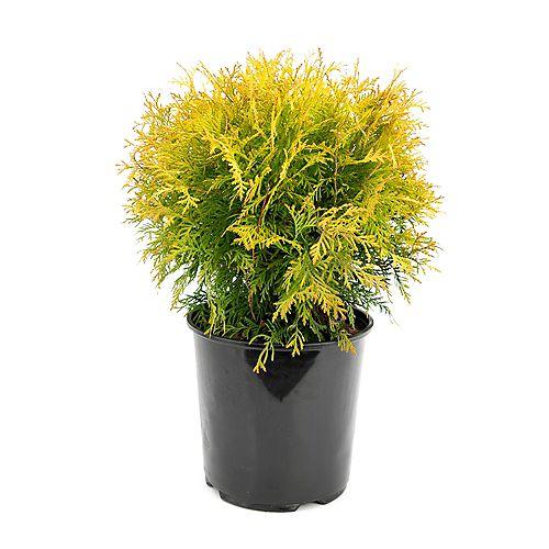 Garden Elements 7.5L Golden Globe Cedar (Thuja) Evergreen Shrub