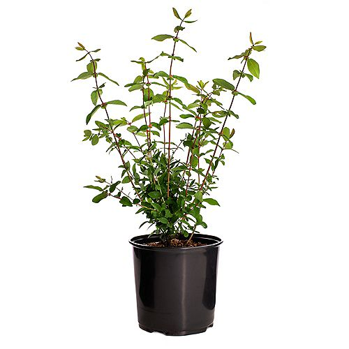 7.5L Aurora/Borealis 2 in 1 Blue Haskap (Lonicera) Edible Fruit Shrub